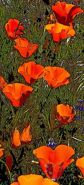 Poppies In Line