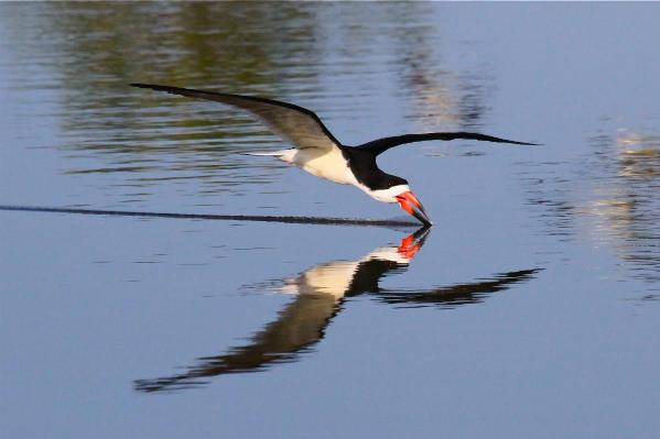 Black Skimmer San Joaquin Wildlife Sanctuary