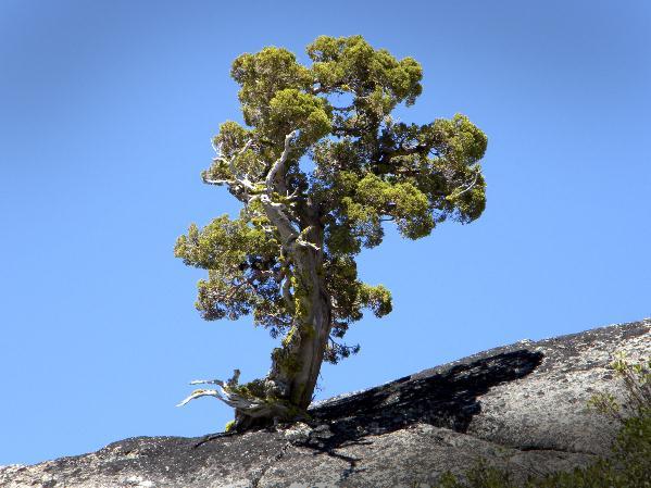 Determined Tree