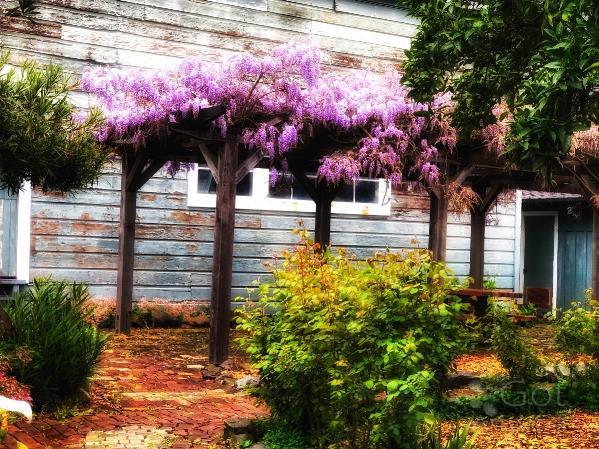 Wisteria In Bloom - Benicia