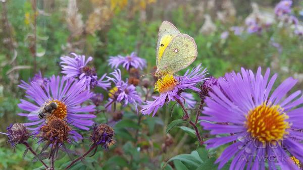 Fall Pollinators