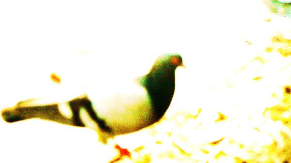 Rock Dove (Pigeon)