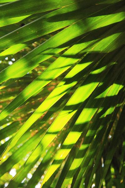 Palm Fronds Backlit By The Morning Sunlight St John Virgin Islands National Park