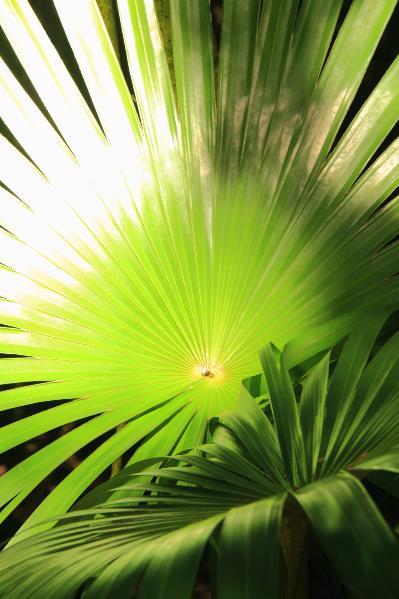 Palm Fronds In Sunlight St John Virgin Islands National Park Photograph By Roupen Baker