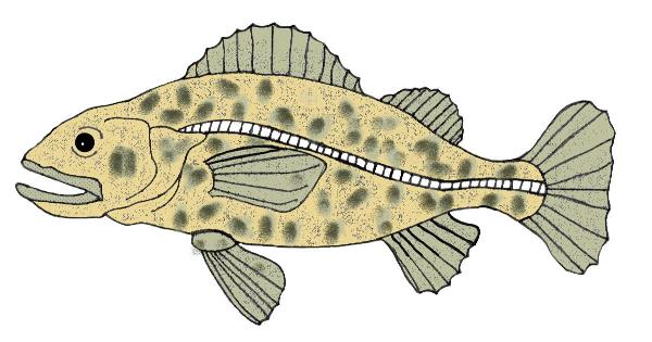 Fish1b