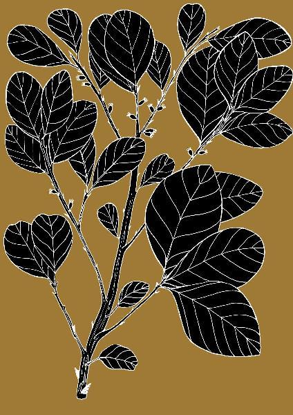 Wild Prune - Pouteria Sericea