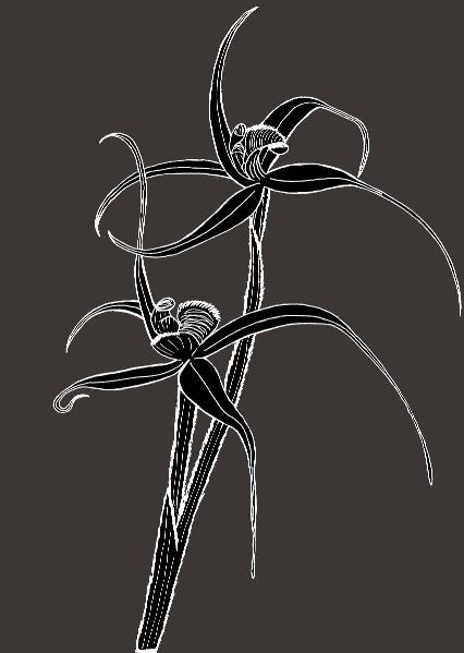 Spider Orchid 1
