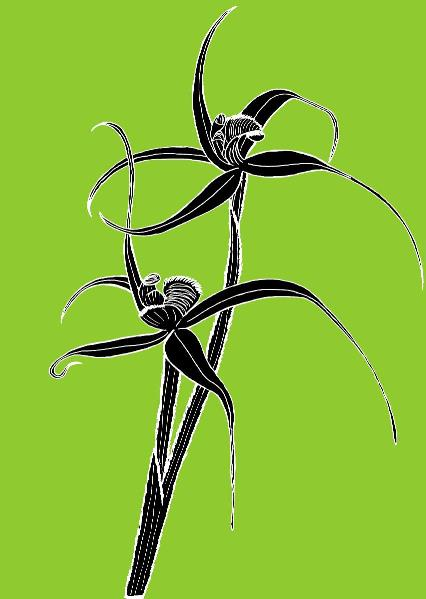Spider Orchid2
