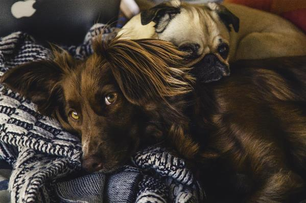 Irish Setter And Pug