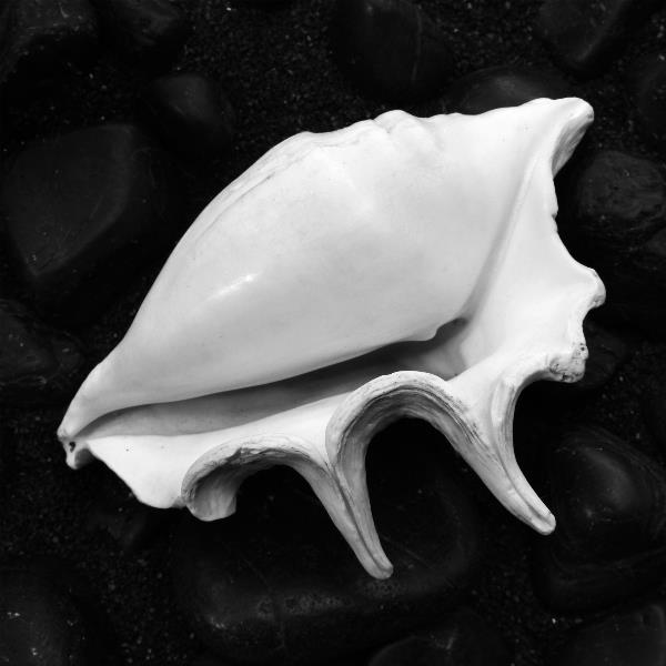 Shell No 11 Picture