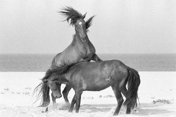 Sable Island Wild Horses: FURY