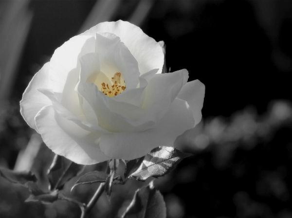 Rosa Blanca 3