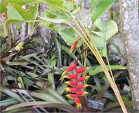 Lobster Claw Plant, St. Kitts