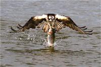 Another Piece Of Meat As Framed Poster