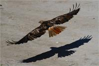 Red Tail Shadow