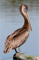 Brown Pelican As Framed Poster