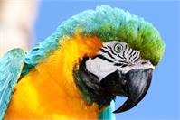 Macaw As Greeting Card