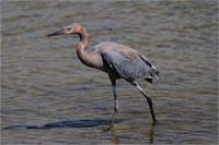 Reddish Egret As Greeting Card
