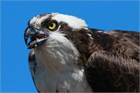 Mighty Osprey As Poster