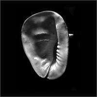 Horned Helmet Seashell Cassis Cornuta