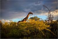 Giraffe At Sunset I