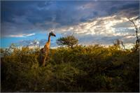 Giraffe At Sunset II