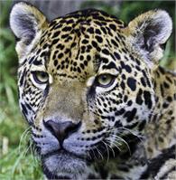 Huay Balam (Nahual Jaguar)