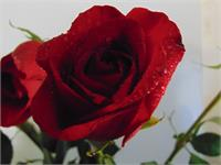 Red Rose Delight