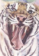 Big Cat Rescue Tiger As Framed Poster