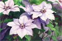 Clematis As Framed Poster