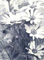 Black And White Daisies As Greeting Card