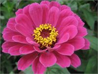 Pink Majesty