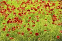 Poppyflower IV