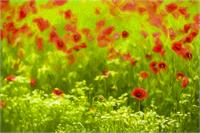 Poppyflower I