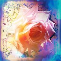 White Rose As Framed Poster