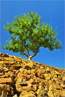 Rock Apple Tree