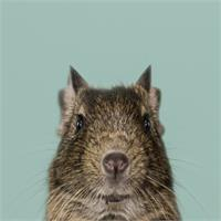 Natural Selection. Degu Mouse.