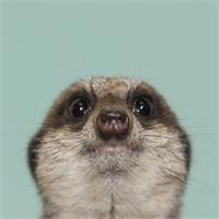Natural Selection. Meerkat.
