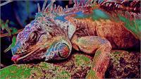 Iguana Sleep As Framed Poster