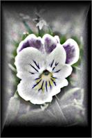 Pansy With A Different Perspective