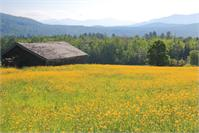 Buttercup Field, Sugar Hill, White Mountains