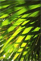 Palm Fronds Backlit By The Morning Sunlight St John Virgin Islands National Park As Poster