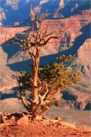 Weathered Juniper Tree On The Canyon Rim Photograph Grand Canyon National Park Arizona By Roupen Baker