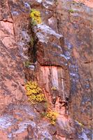Yellow Fall Foliage Clings To The Canyon Wall Photograph Grand Canyon National Park Arizona By Roupen Baker As Framed Poster