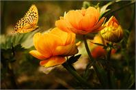 Orange Butterfly Hovering Over Blooming Flowers