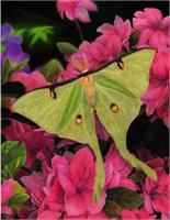 Luna Moth Among Pink Azaelias