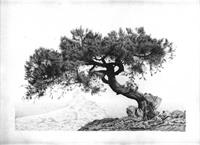 Crimean Tree As Greeting Card