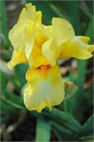 Sunny Yellow Iris