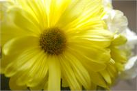 Yellow Daisy Joy