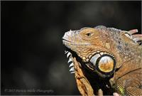 Sfzoo Iguana